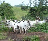 cattle-entering-farmlands-165x140.jpg