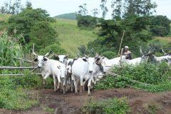 cattle-entering-farmlands-240x160.jpg