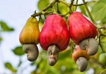 cashew-360x250.jpg