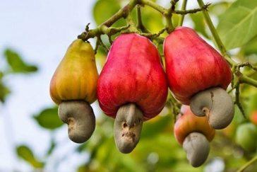 cashew-364x243.jpg