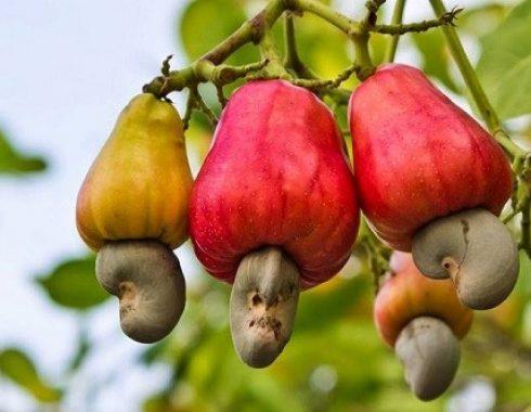 cashew-490x380.jpg